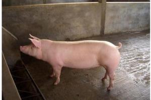 为啥人家母猪一窝能生