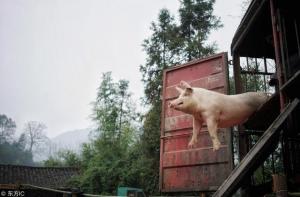 透过猪价,看中国猪市发展!