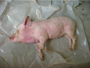 详细教程:猪细菌病系统诊断流程