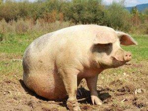 母猪低温怎么治?这个中医疗法不错!