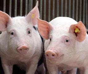 【技术】母猪怀孕前后到底该怎么打疫苗?