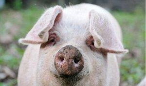 猪场精液处理,记住这6个诀窍,效果好还省钱!