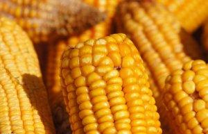 政策仍是影响未来玉米价格走势的关键因素