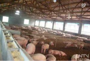 """养猪场的生态""""逆袭""""生物发酵床24小时降解粪污"""