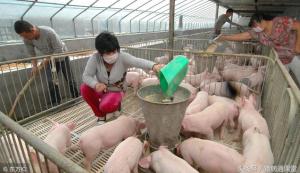 养猪中猪饲料的选择技巧,你知道吗?