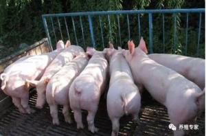 怎么让猪快速育肥?猪快速育肥需要哪些环境条件?