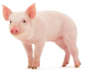 保育猪只分群和饲养的秘诀