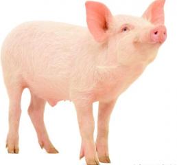 春季是万物生长的时节,如何做好猪只饲养,加快长势