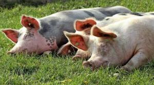 了解猪日粮中脂肪的价值,对养猪有大帮助