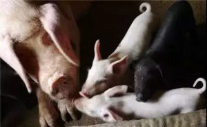 母猪怀孕2大事件,牢牢记住好应对!
