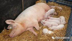 母猪产后恶露不尽,后腿抽筋不止,3头母猪前后死亡