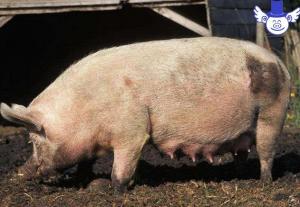 母猪泌乳能力差不一定是先天原因,也可能是后天管理出了问题