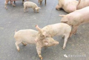 12头猪总欺负1头猪,这是什么原因造成的?