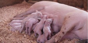 母猪分娩久久不见仔猪,老养猪人教你一个既安全又实用的方法!