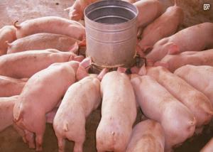猪价大跳水,是猪真的