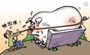 贫困户饲养的猪太肥 体重超标出售成难题