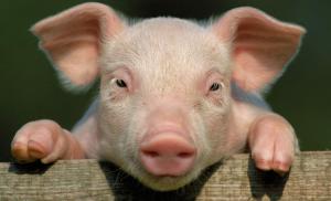 猪价行情止跌在望!3月要火中取栗?