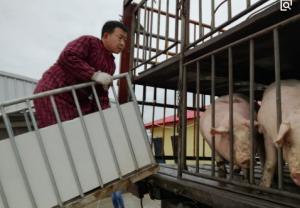 """吕梁:临县安业村首批450头""""扶贫猪""""出"""