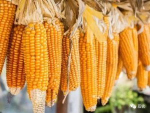 玉米价格持续上涨,市场行情趋强运行,玉