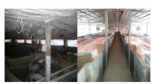 如何提高规模化养殖保育猪入场存活率