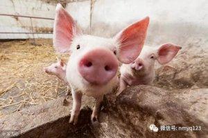 生猪日评:反弹区域扩大 猪价或震荡筑底