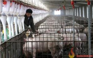"""商丘:""""猪司令""""徐国星赶猪奔小康 年收益20余万元"""