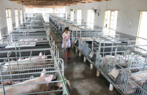 养猪致富带头人 年可出栏生猪1200头