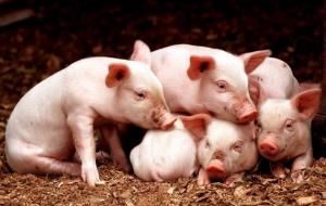 开春如何保证哺乳仔猪不伤亡?这3点你要清楚