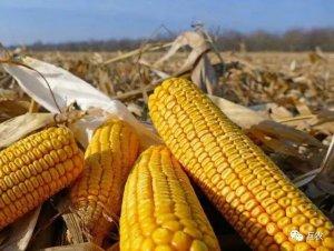 玉米价格高歌猛进突破1元,玉米市场风险