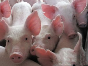 城口县:实施生猪产业三年扶贫行动计划