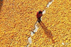 玉米市场看好,玉米价格强势运行!玉米市
