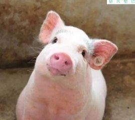 你能听懂猪在说话吗? 养猪达人必看!