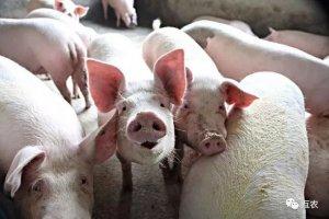 生猪价格上涨未到时机,猪价要跌到什么时候?卖一头猪亏100元?