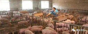 几个灯泡提高你猪场母猪产仔数!