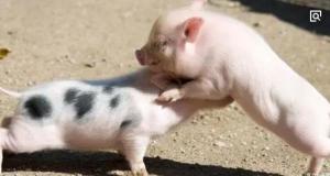 老刘养猪培训 猪的特性――小猪打架不好吗?