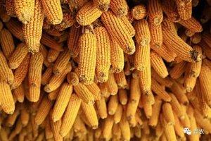 玉米价格疯涨到什么时候?利多出尽,玉米