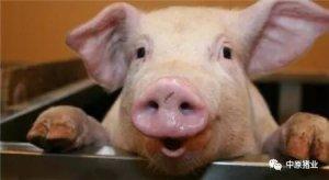 猪价啥时候能上涨?专家给出了一个具体时间!