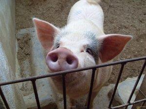 猪价再次跌回11.27元/公斤,政府收储成唯一方法?