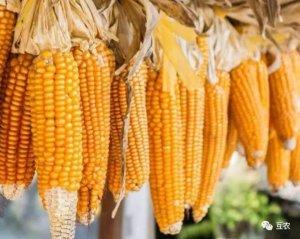 玉米价格上涨机率小,大规模拍卖开始,玉