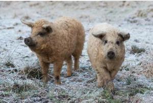 一头猪卖6000多元,英国的这个猪凭啥这么贵?