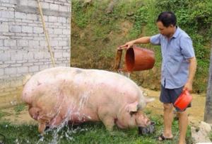 猪价低?药费贵?其实用冷水、热水就可以给猪进行9种病的治疗
