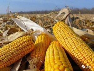 玉米价格已经见顶,拍卖即将开始,玉米走