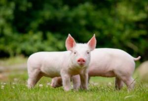 保育猪难养,原来和这个习性有关