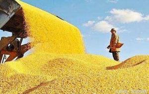 玉米又涨价了!山东局地突破2100元/吨!