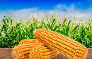 当前中储粮网增加投放地方玉米拍卖,全国