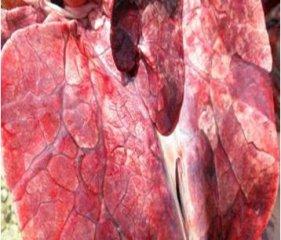 育肥猪肺部霉菌和细菌