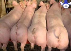 新手养殖户常遇到的问题,新引进母猪如何分群?兽医师告诉你!