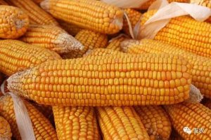 玉米价格回归正常走势,小幅下跌走势为主