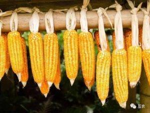 玉米价格全线下调,临储拍卖左右玉米后期