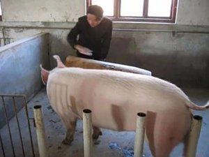 养猪如此不容易,但很多农民还在坚持,原